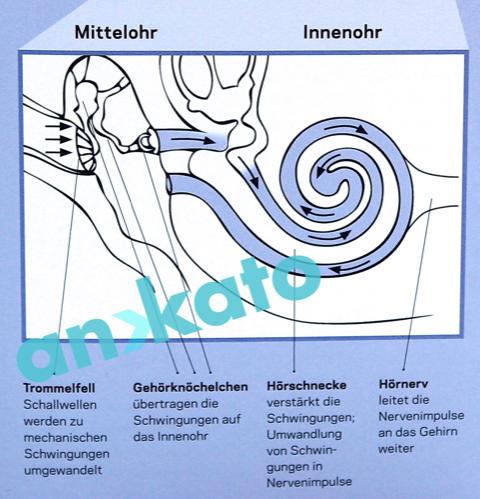 Mittelohr und Innenohr