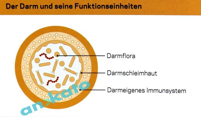 Darm_Funktionseinheiten