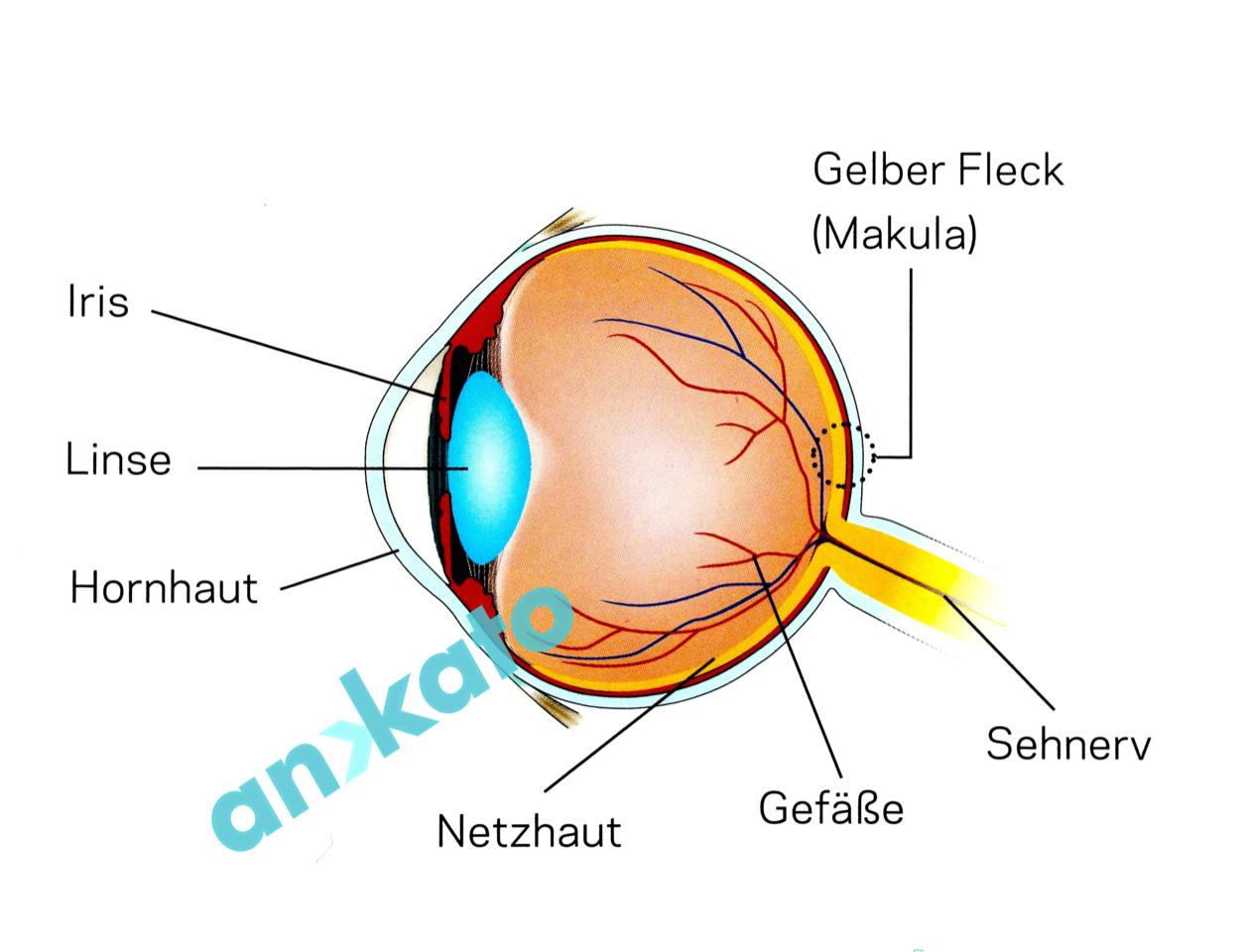 Das Auge - Wunderwerk des Sehens